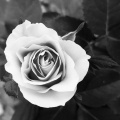 sarah-flower