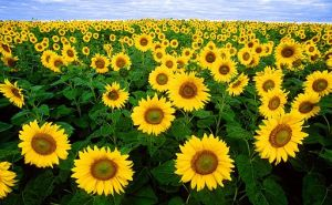 Sunflowers_helianthus_annuus